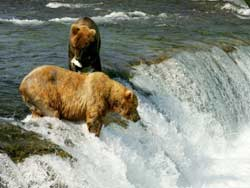 USA_Alaska_Grizzlybären