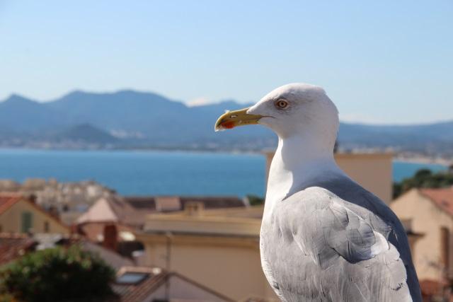 Möve mit Blick auf die Cote d'Azur