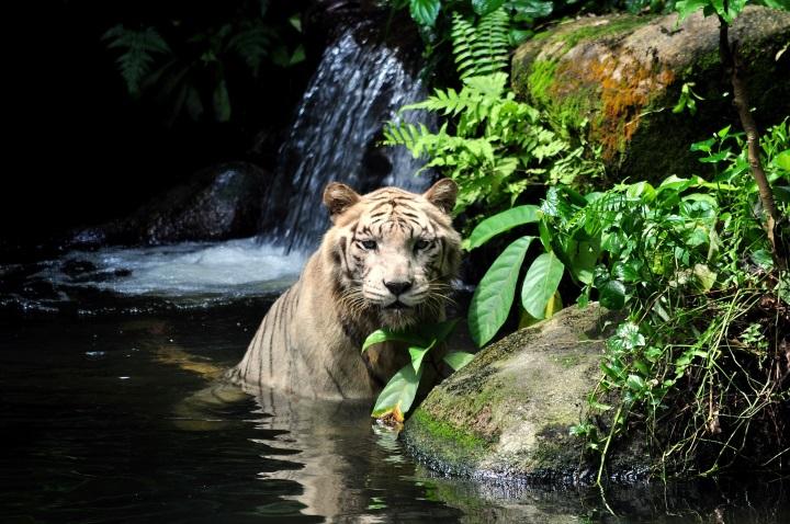 Weißter Tiger im Zoo von Singapur