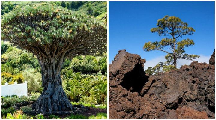 Kanarischer Drachenbaum und Kanarische Kiefer